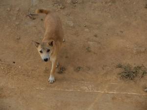 Thailand-Hunde-20