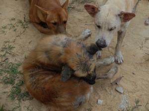 Thailands-Hunde-04
