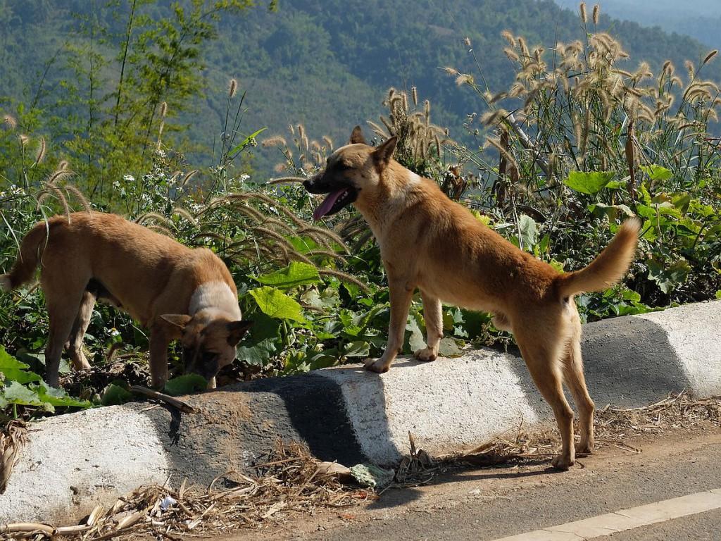 Thailands-Hunde-14