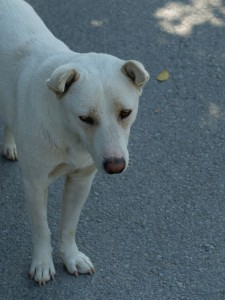 Thailands-Hunde-17