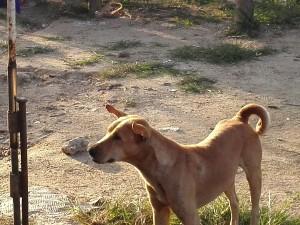 Thailands-Hunde-18