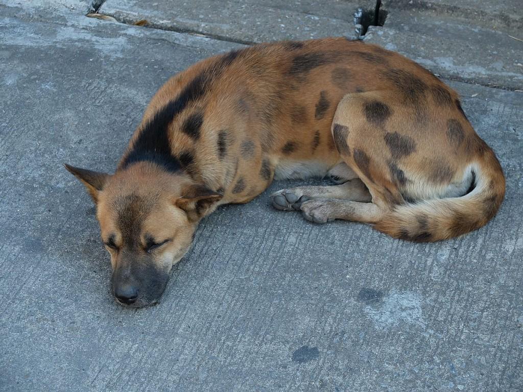 Thailands-Hunde-19